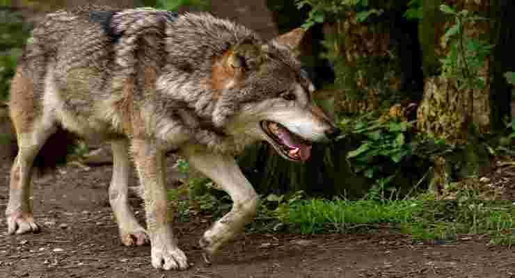 Il lupo si aggira di soppiatto alla ricerca delle prede (Foto Pixabay)