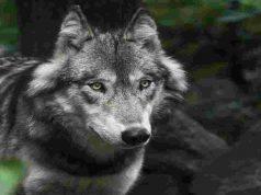 Lo sguardo misterioso del lupo solitario (Foto Pixabay)