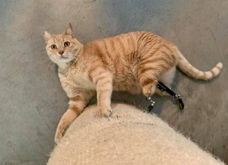 vito il gatto con le protesi