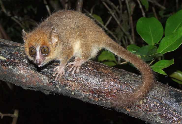 Lemure topo curiosità sui lemuri