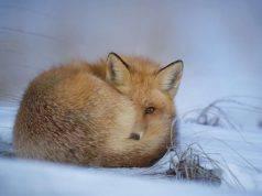 Volpe pelliccia (Foto Pixabay)