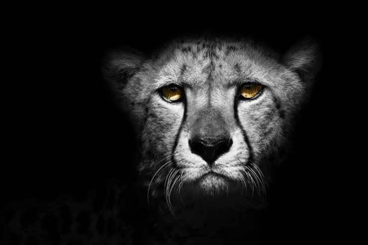 Primo piano del ghepardo (Foto Pixabay)