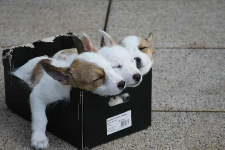 Cuccioli stanchi (Foto Pixabay)