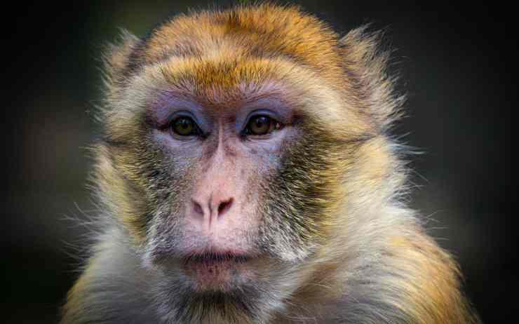 Macaco espressivo (Foto Pixabay)
