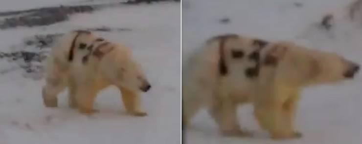 orso bianco scritta russia