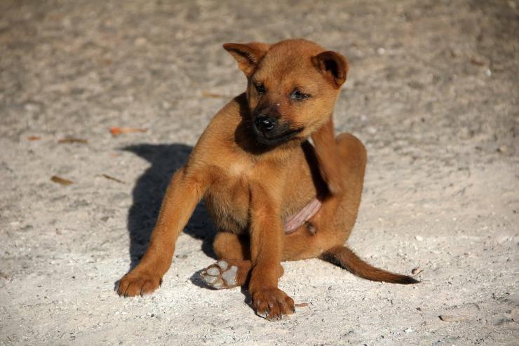 cane con pulci