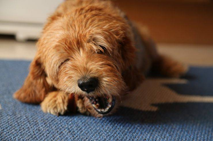 cane puo mangiare il cotechino