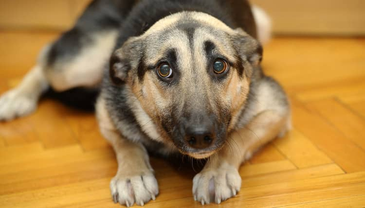 cane paura genetica
