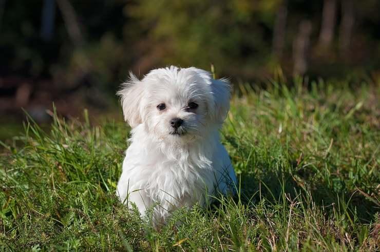 cane bianco piccolo