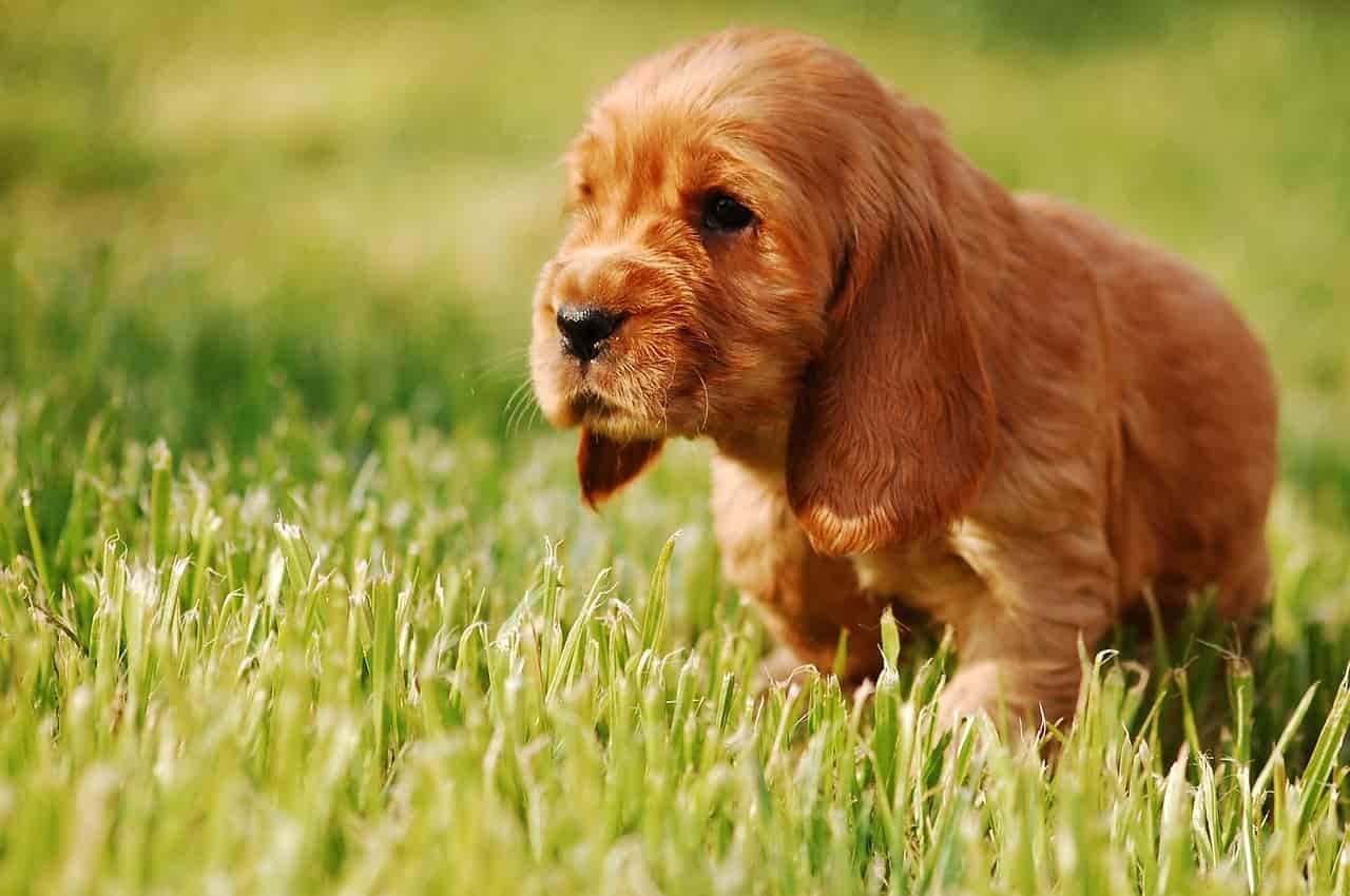 Nomi di cani rossi