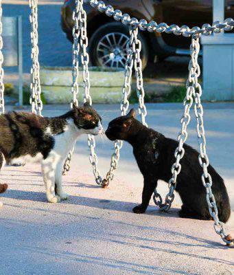 gatto ferito litigio tra gatti