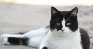 Gatto bianco e nero (Foto Pixabay)