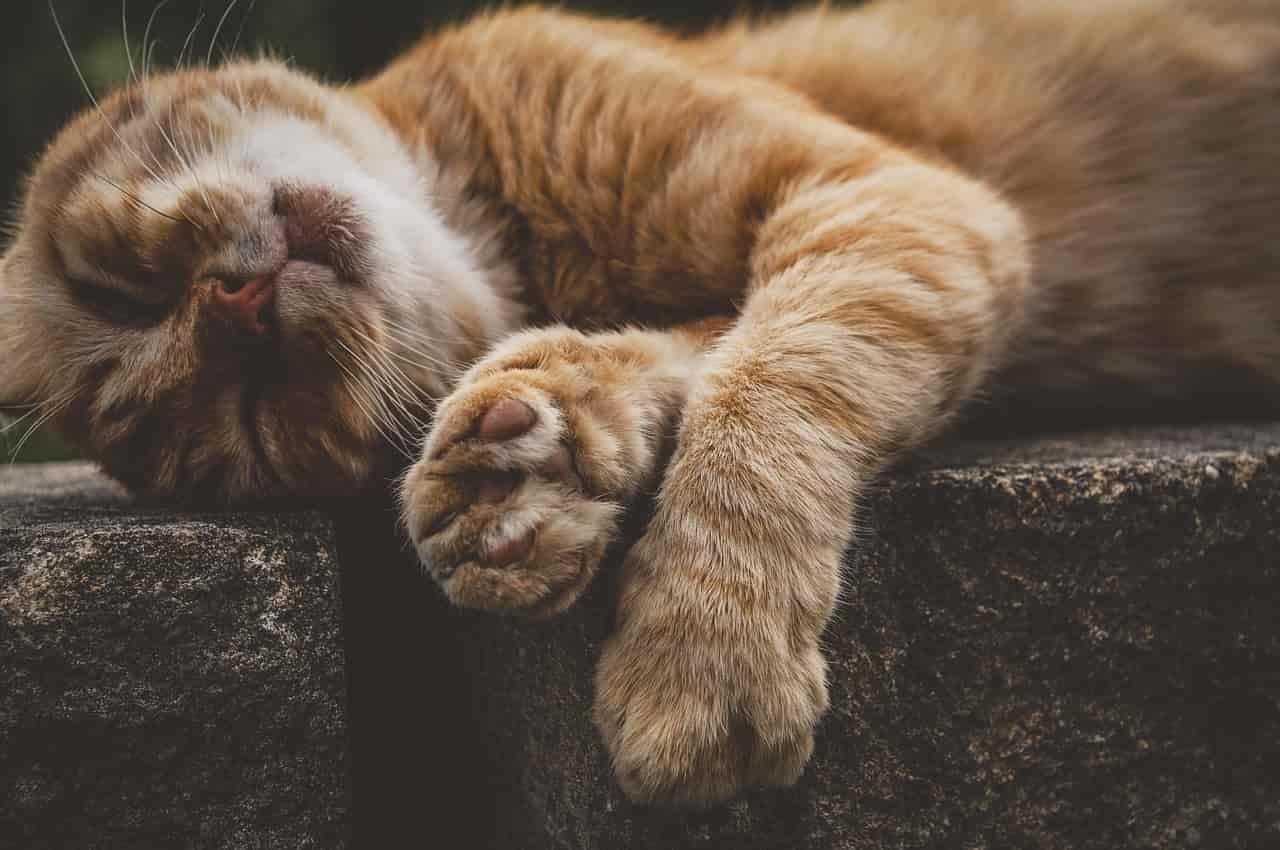 Gatto che dorme (Foto Pixabay)