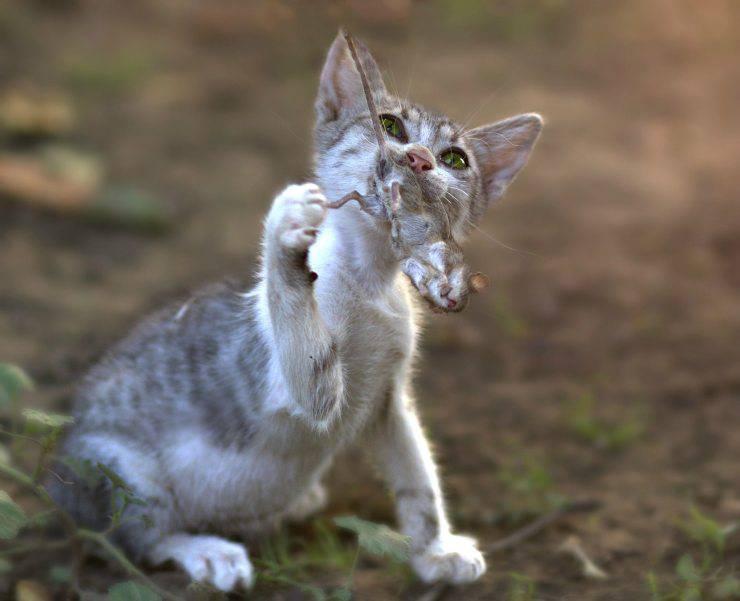 gatto gioca con la preda
