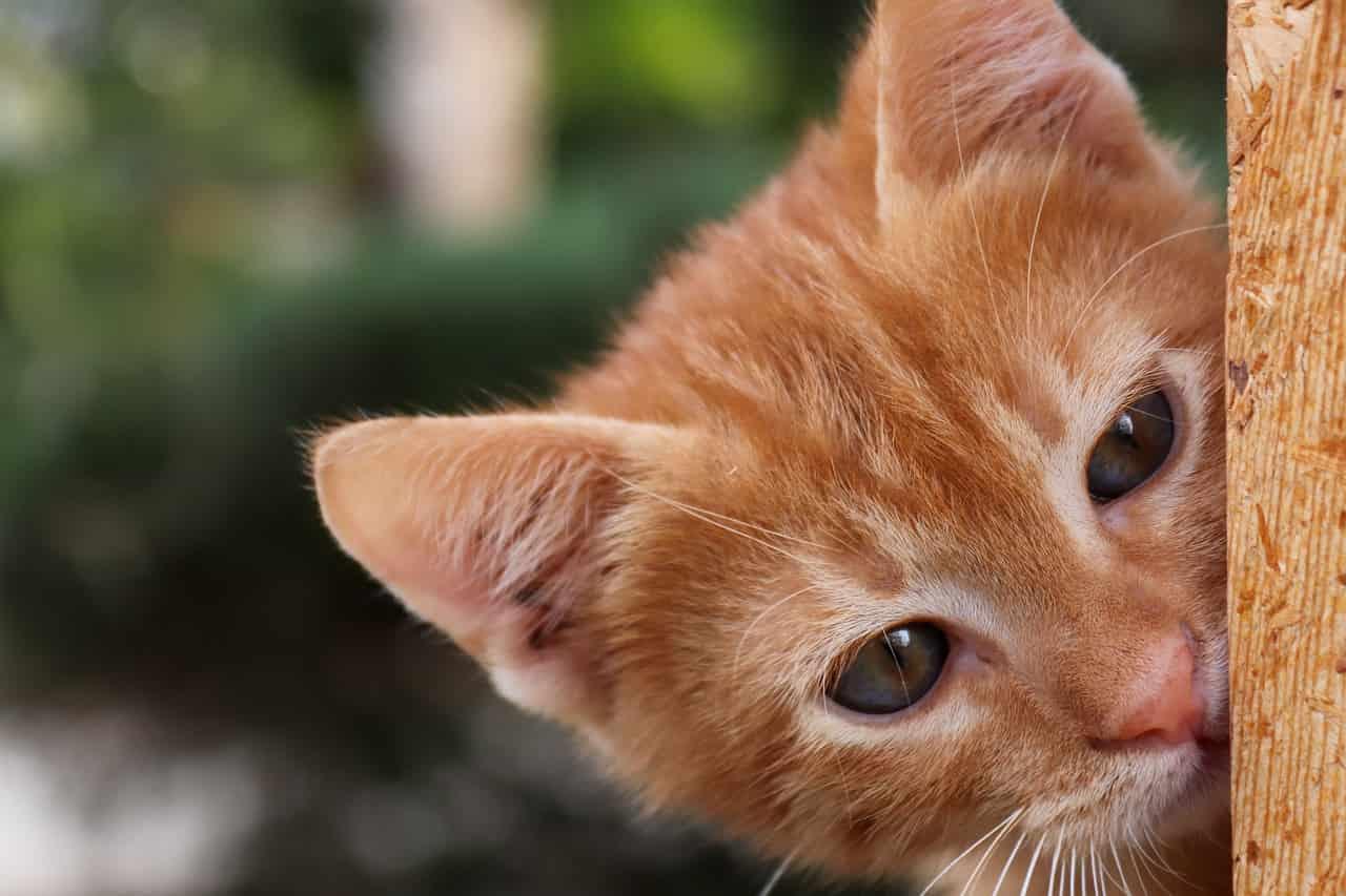 Gatto che osserva (Foto Pixabay)