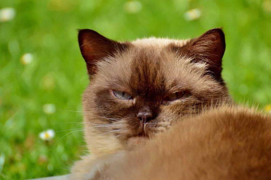 espressioni facciali gatto