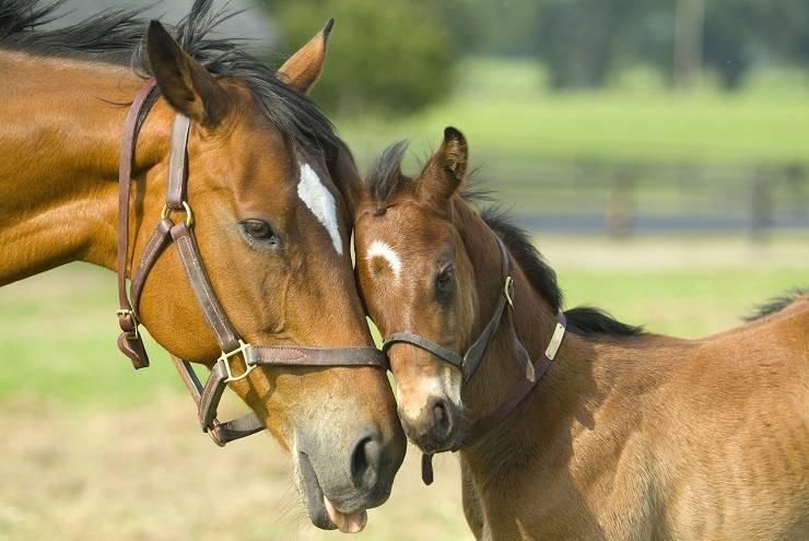 calcolare età del cavallo
