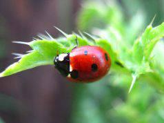 piante che attirano le coccinelle