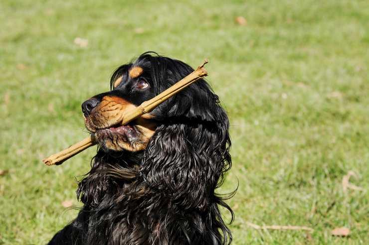 cane con il legnetto (Foto Pixabay)