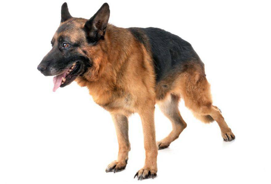cane displasia del gomito