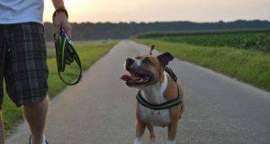 La gioia del pitbull (Foto Pixabay)