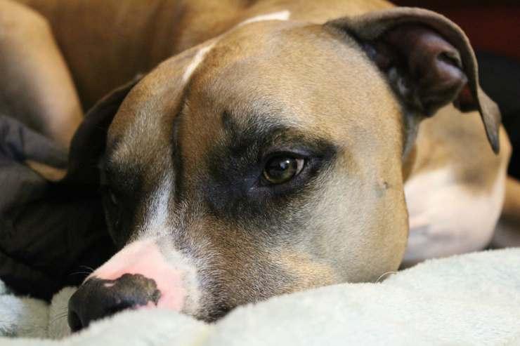 Pitbull, un cane fedele (Foto Pixabay)