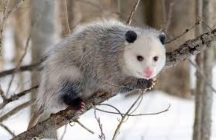 opossum cervo amicizia zecche