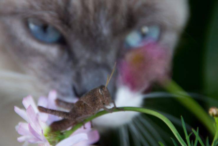 gatto ha mangiato un grillo