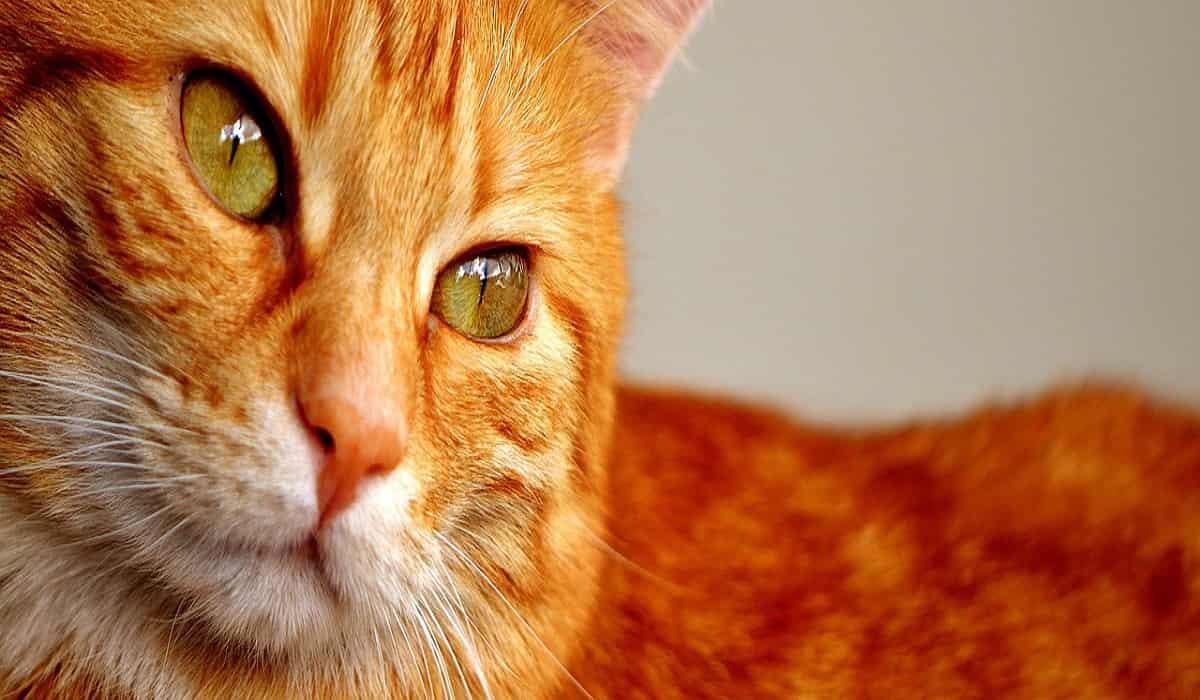 Nomi per gatti rossi