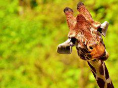 curiosita sulla giraffa