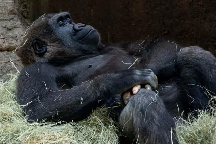 uganda gorilla nascite