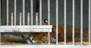 tigri italia russia