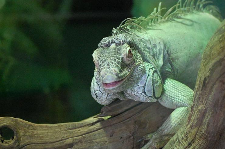 cosa mangia iguana