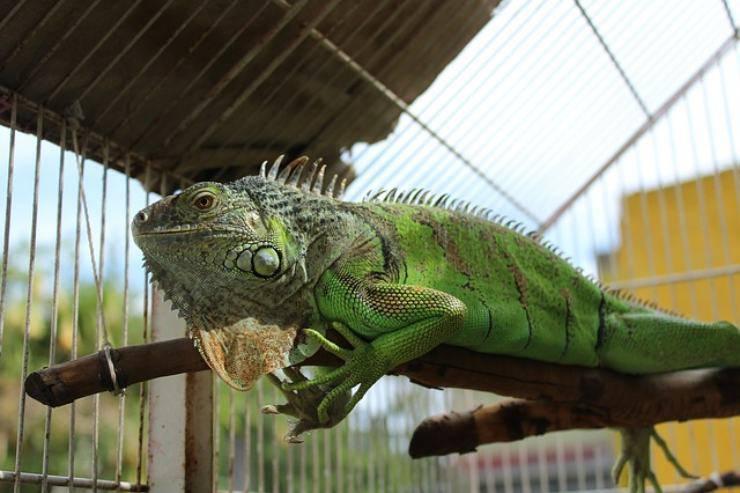 iguana femmina o maschio