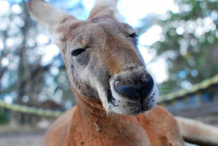 La stanchezza del canguro (Foto Pixabay)