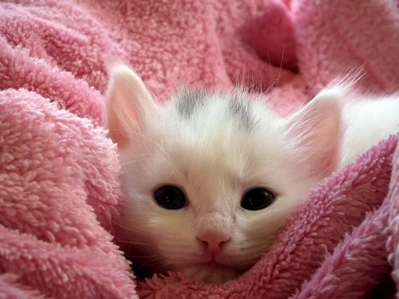 Pelliccia e gatto (Foto Pixabay)