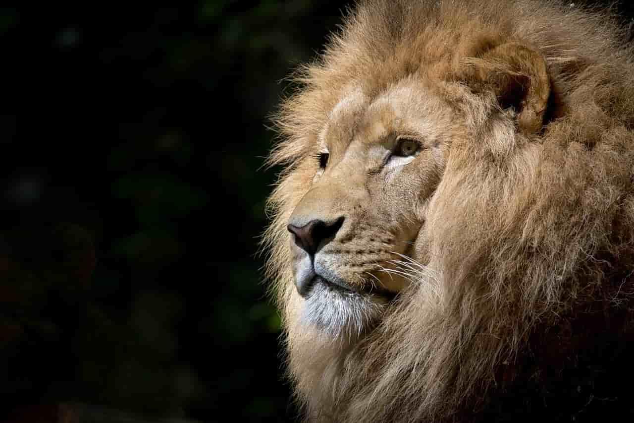 La maestosità del leone (Foto Pixabay)