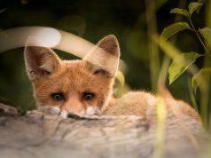 La volpe non vuole essere scovata (Foto Pixabay)