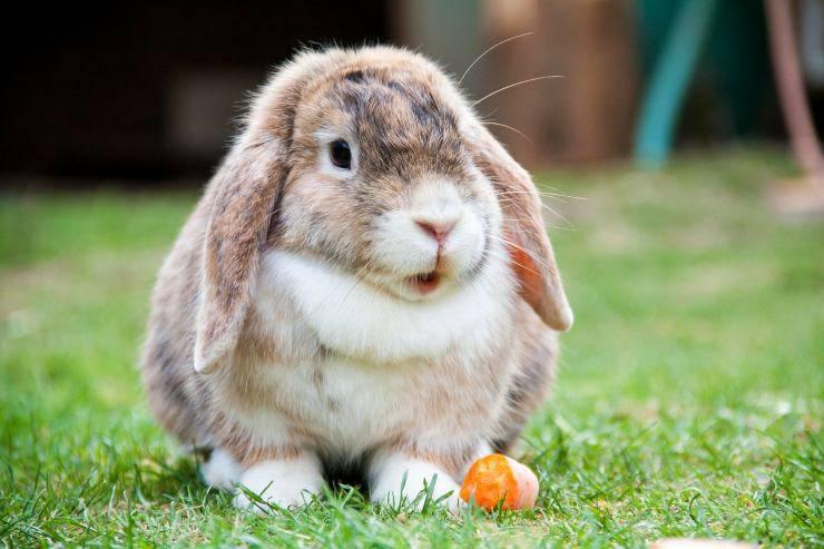 coniglio mangia