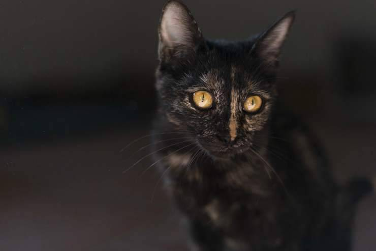 Gatto timoroso (Foto Pixabay)