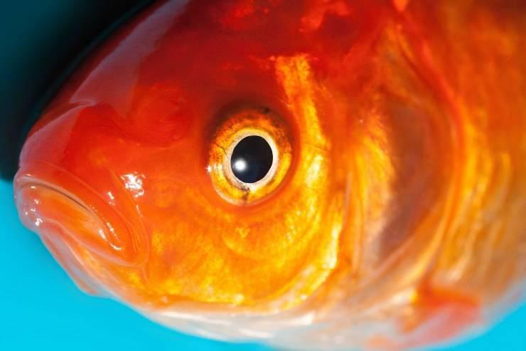 come trattare linfezione dellocchio di pesce
