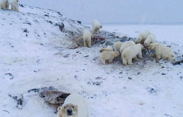 orsi polari russia