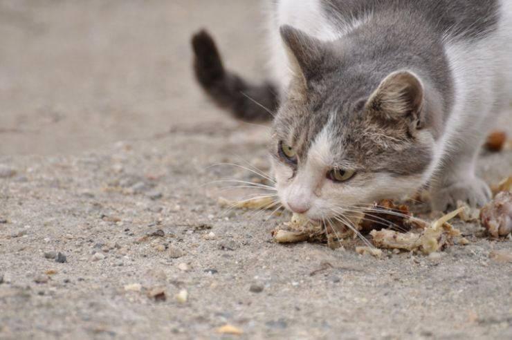 osso pollo al gatto