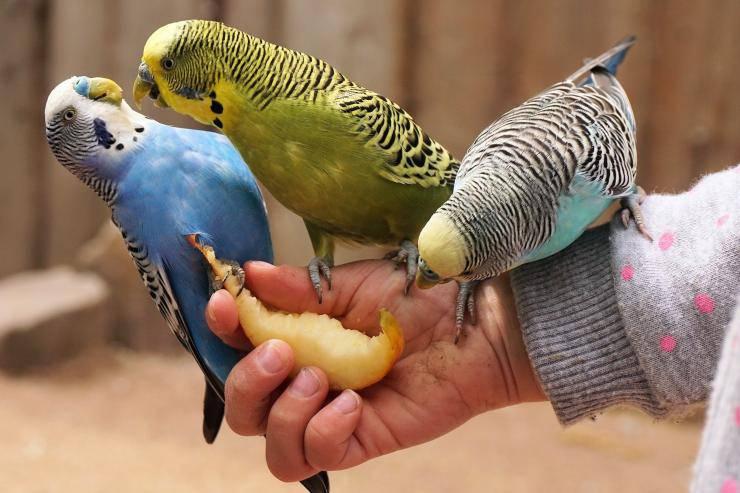 pappagallini che mangiano