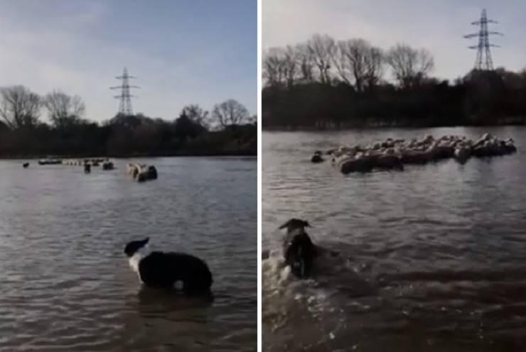 cani salvano pecore alluvione