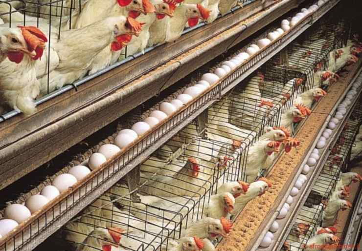 allevamenti intensivi di polli in gabbia