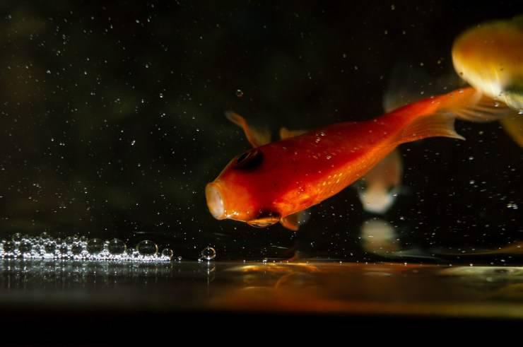 pesci dacqua salata che mangiano parassiti