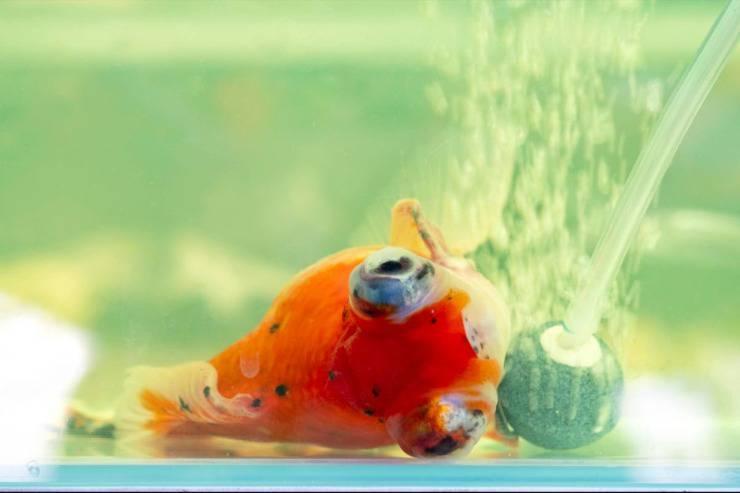 pesce malato
