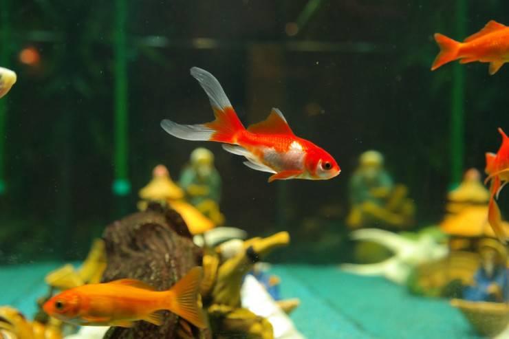 pesci nell'acquario (2)