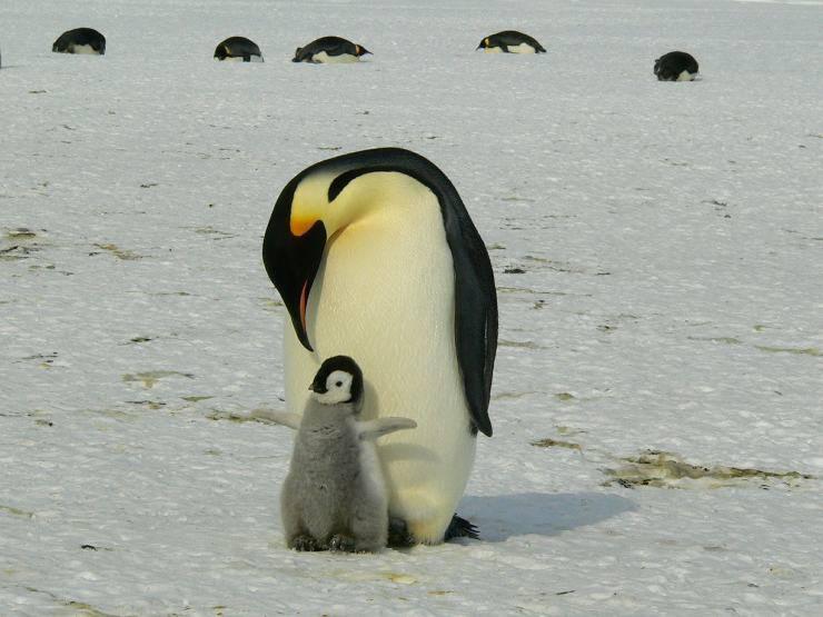 pinguino e cucciolo